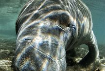 Manatees / by Courtney Patterson