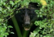 Maine Black Bear / by Veronica Beaverhousen