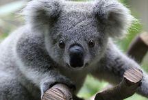 Koalas / by Sue Schwoebel
