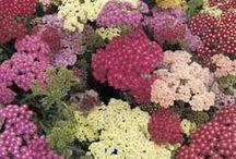Sunny Perennials-summer blooms / Kentucky Perennials for sunny locations / by Les LeMa
