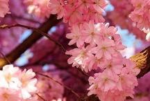 fleurs — primaveral / harbingers of spring / by Dicentra spectabilis