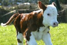 Cows :) / by Anna Brown