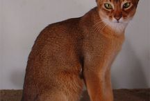 ~ABYSSINIAN CAT PICS~ / by Catherine
