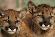 Puma Cubs (Cougar, Mountain Lion, Panther) / by Darcy Pattison