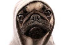 Pugs / by Jm Pug