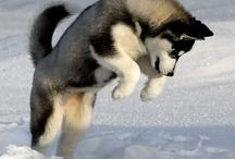Huskies from Siberia / by Ian Fry