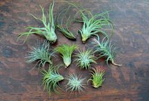 Wholesale Air Plants / by Air Plant Design Studio