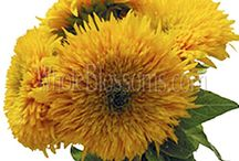 Wholesale Sunflowers for Weddings / by WholeBlossoms Wholesale Wedding Flowers
