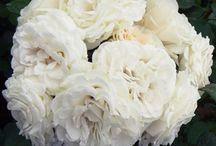 Daniels Wedding / by Katie {Sweet Rose Studio}