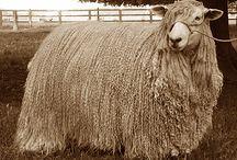 Sheep / by bo bobik