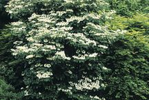 Viburnum / by Growing The Home Garden