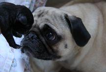 I love pugs ! / by Sasa Koveou
