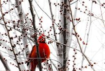 Cardinals and Their Feathered Friends / by Ellen Moeller