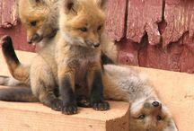 Foxy / by Gillian Nowlan
