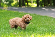 charlie the malitpoo - doggie ♥ / Charlie is 1/2 maltese and 1/2 poodle - he is beyond precious! / by Jill Samter