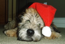 Jazper - Our Soft Coated Wheaten Terrier / by Barbara Myers Anderson