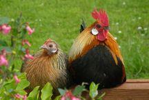 Chickens 4 / by Davelyne Steinbaugh