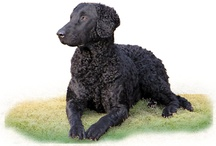 Curly-Coated Retriever / by Lisa de Sercey