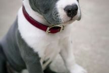 Pit bulls / by Jackie Fearnow