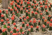 Cacti/Succulents  / by Ferid Biglover