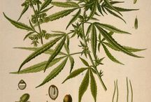 Cannabis Pictures / by Cannabis Now Magazine
