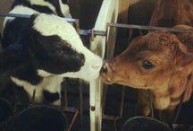 Cows / by Brenda Powell