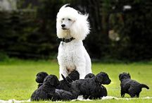 Poodle Love / by Artsy Albums