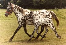 Appaloosa / The Appaloosa began with the Nez Perce tribe around 1700. Strength, speed, sure-footedness & intelligence were their traits.The original name was Palousey then Appalousey then Appaloosa.Colors are LEOPARD, dark spots on a white body, SNOWFLAKE,dark body with spots or speckles, MARBLED, a light coat covered in small dark speckles,   FROST, a dark coat covered in small light speckles, BLANKET, white on the hips & or loins. / by Trudi Foxcroft