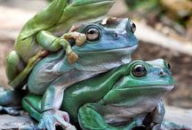 Animals-Frogs &Toads / Frogs and toads. / by Ellary Branden