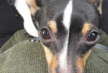 Toy fox terrier / by Lakeisha Branch