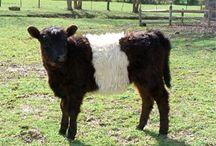 COWS!!!!!!!!! / by Lauren Stephens
