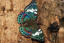 Butterfly شاپرک و پروانه  / by 30 Morgh