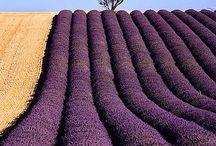 Lavender love  / by Dee