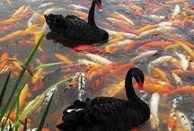 They call me swan  / by Allison Ramirez