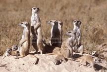 Meerkat / by Dee