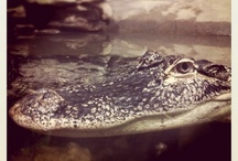 Alligators / by PreSonus