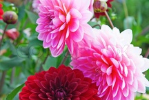 Dahlia later / by Shaylan