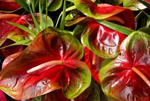colours / discover more colours of anthuriums, such beautiful plants / by Stella Byll