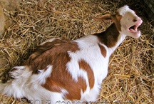 Goats / Potential Goat Thing of the Day / by Margaret Andrews