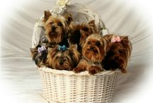 Yorkies and other sweet animals / by Janet Marsh