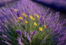Lavender Blue, Dilly Dilly / Lavender in any form is wonderful, including in the kitchen. / by Janet Reichel