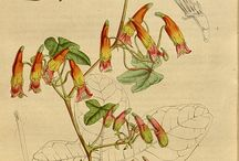 Tropaeolum Illustrations / by Swallowtail Garden Seeds