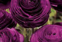 Color Purple | Paars / Mauve | Sering | Hortensia | Druif | Maagdenpalm | Iris | Indigo | Jacaranda | Lavendel | Aubergine / by ~ ~ K®!style ~ ~