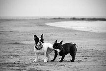 Boston Bull Terriers and Friends / by Syntheia Finklepott