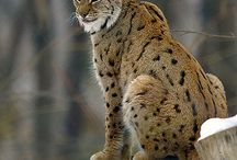Big Cats / by harley Softail