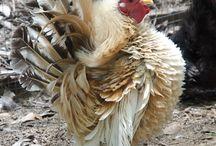chicken little- breeds / by amystrawn