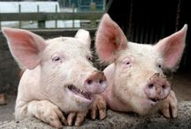 Keeping Pigs / Care of pigs as a backyard or homestead animal / by Emergency Essentials, LLC
