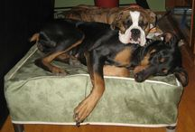 Boxer / Boxers and Kuranda beds! / by Kuranda Dog Beds