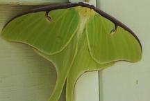 night moth / by Hazel