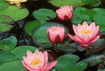 Ponds / Ponds .Lotus. Pond plants. Koi fish. Teich.  See my board Tropical water gardens for more ponds. / by Anke Metzger
